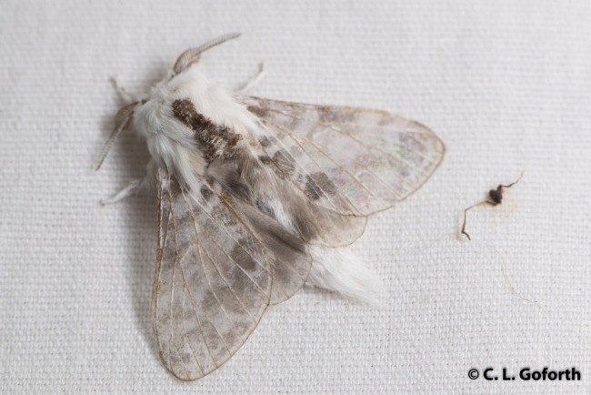 Small tolype moth