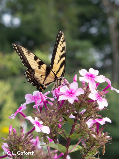 Eastern tiger swallowtail feeding on phlox