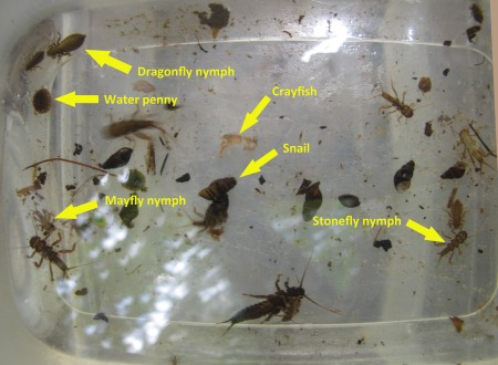 Aquatic insects from Bent Creek