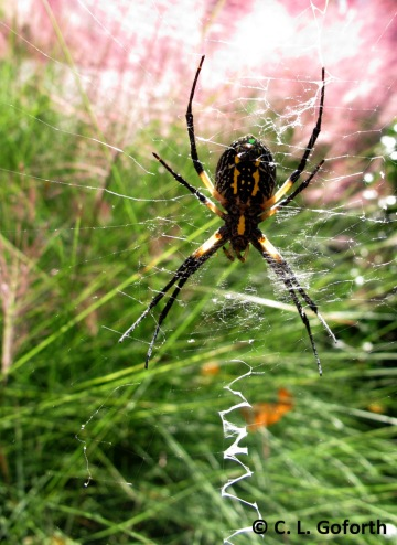 Black and yellow argiope, Argiope aurantia