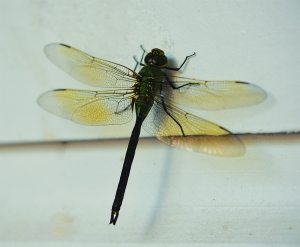 dragonfly from a swarm