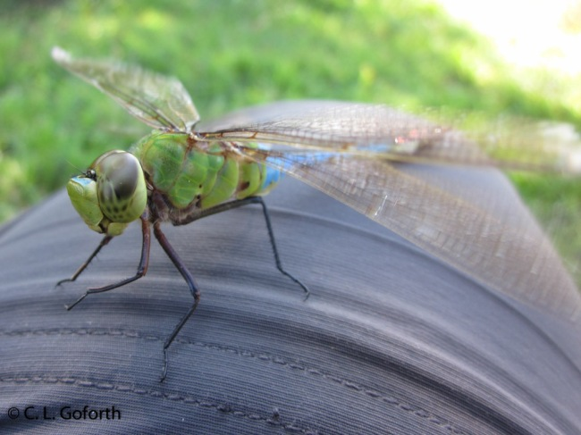 Green darner on my knee