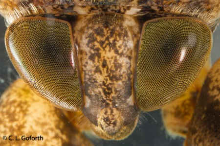 giant water bug eyes