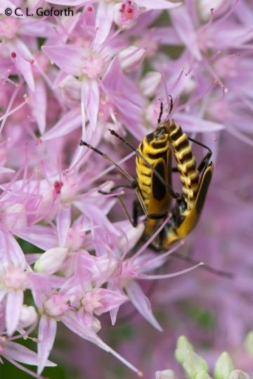 Soldier beetle lovin