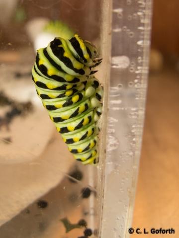 Black swallowtail caterpillar pupating