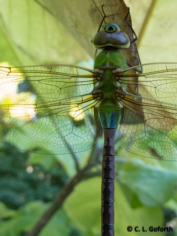 Darner on big leaf magnolia