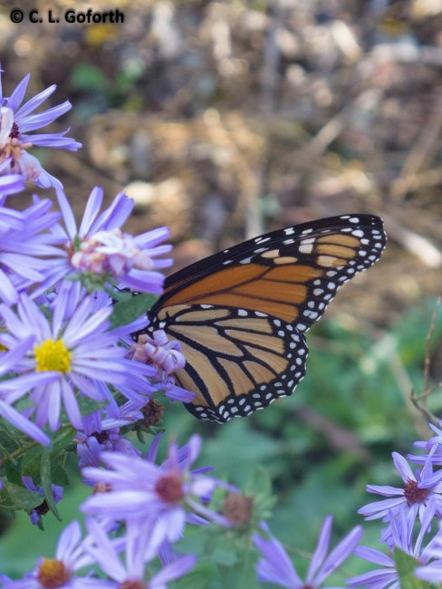 Monarch on aromatic aster