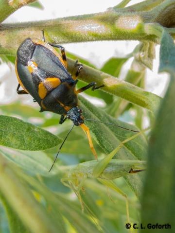 Stink bug eating cricket