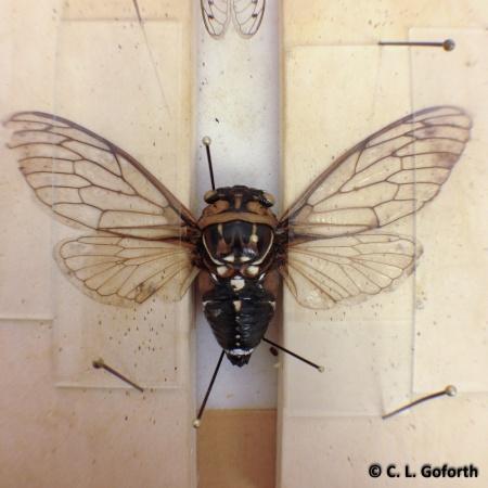 cicada wing spreading