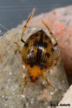 Crawling water beetle, Peltodytes sp