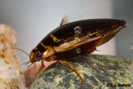 Thermonectus basillaris