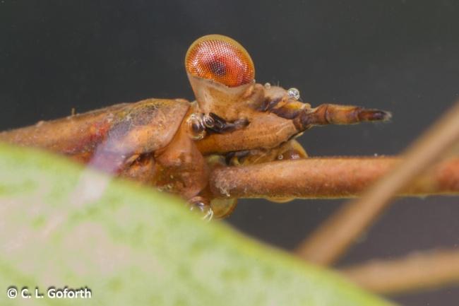 Water scorpion head, Ranatra nigra