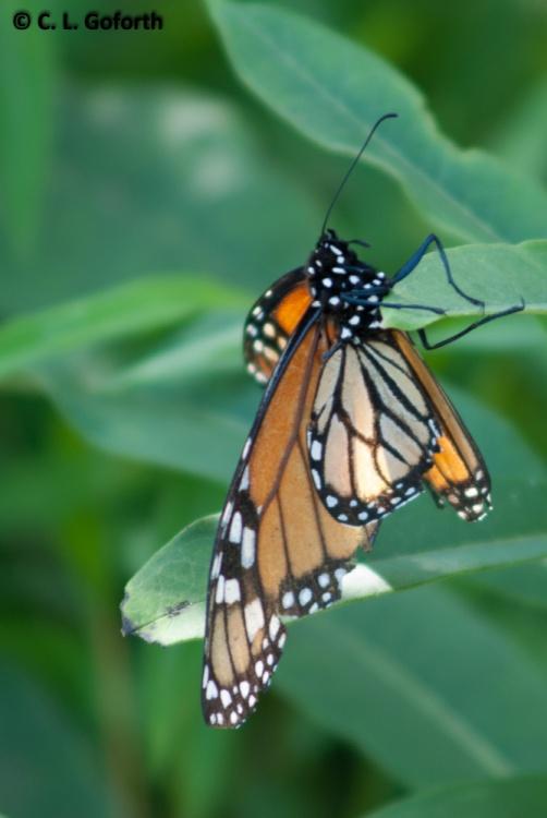 Monarch ovipositing