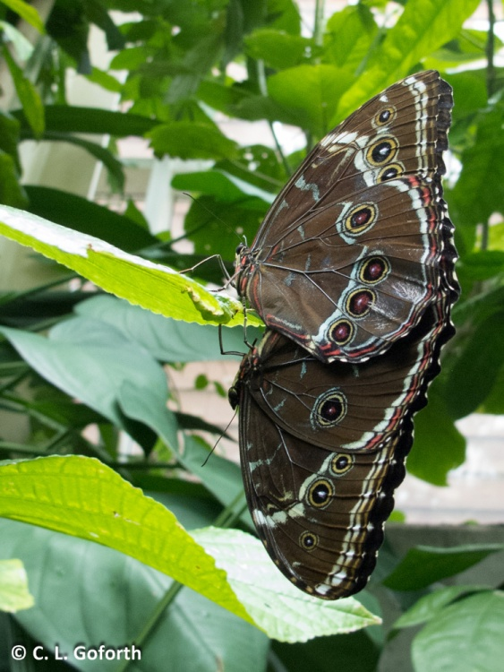 Morphos in love