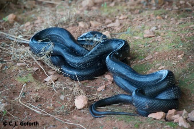 Rat snakes mating