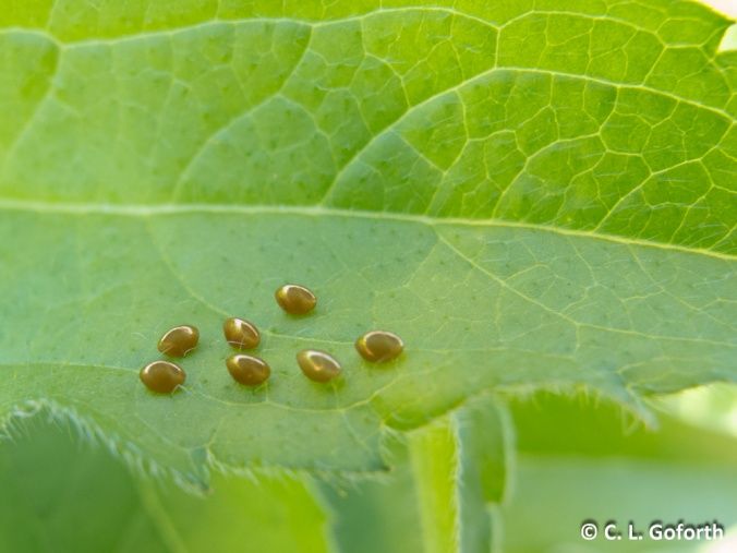 Golden insect eggs