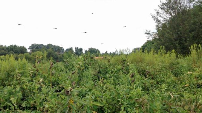 Dragonfly swarm!