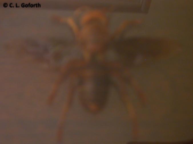blurry vespid