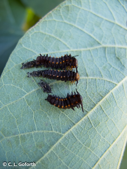 Pipevine caterpillars