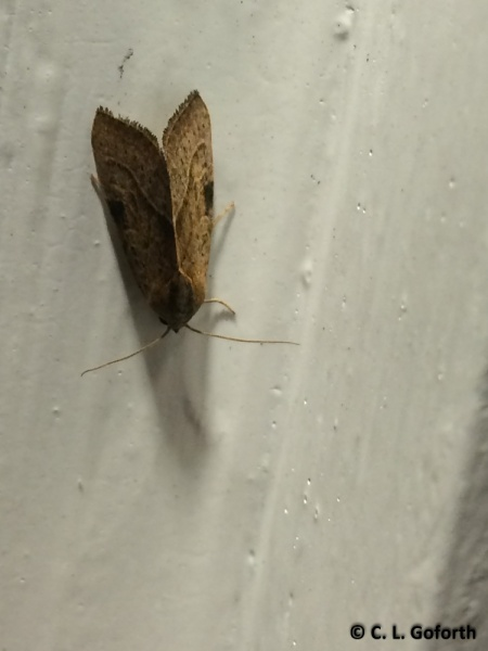 Unknown moth