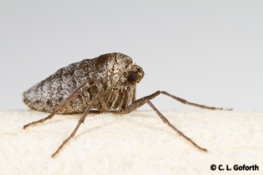 Fall cankerworm female