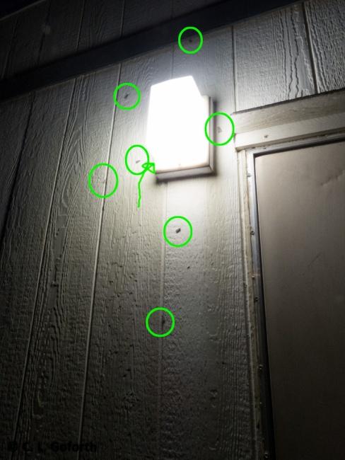 Moths at light