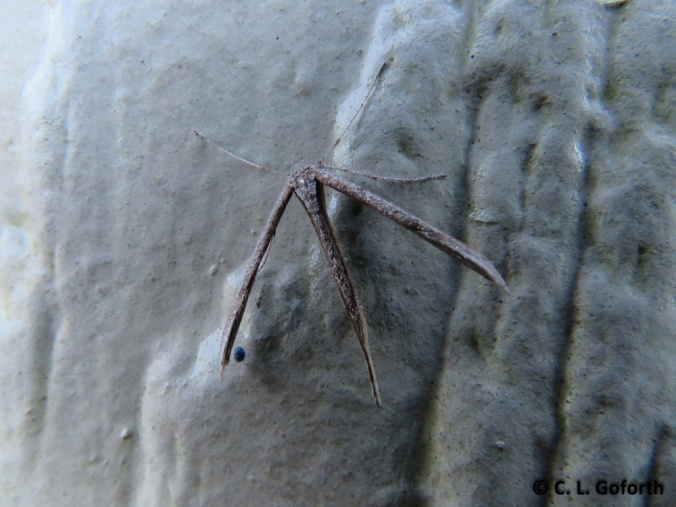 Plume moth SX60
