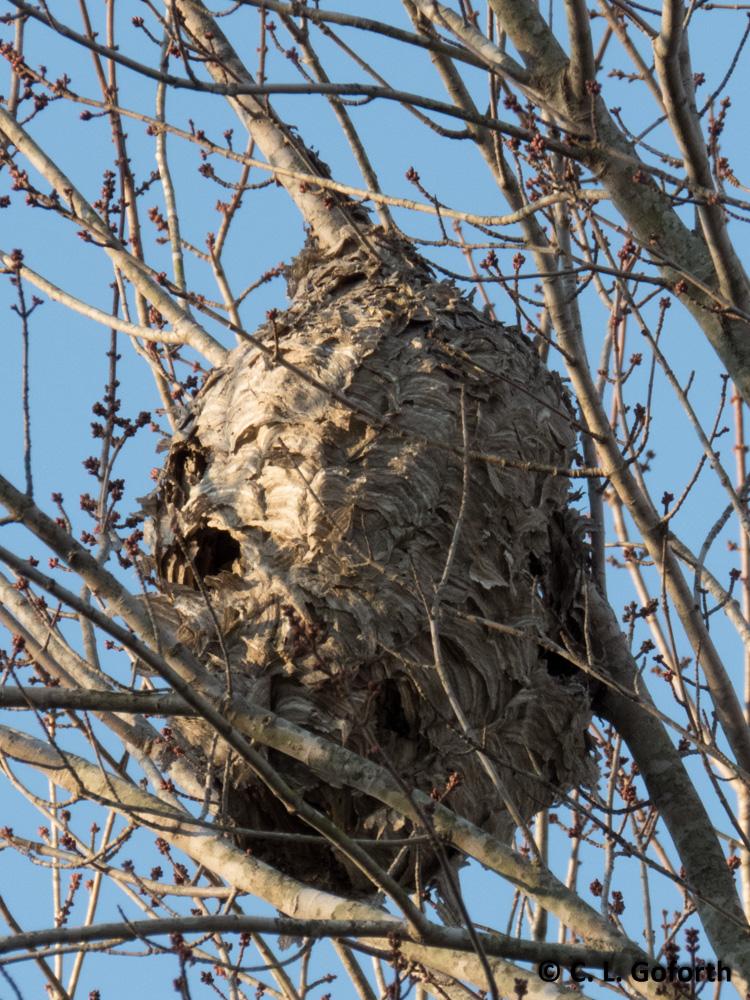 A wasp nest and a dead bluebird in a nest box - BirdWatching