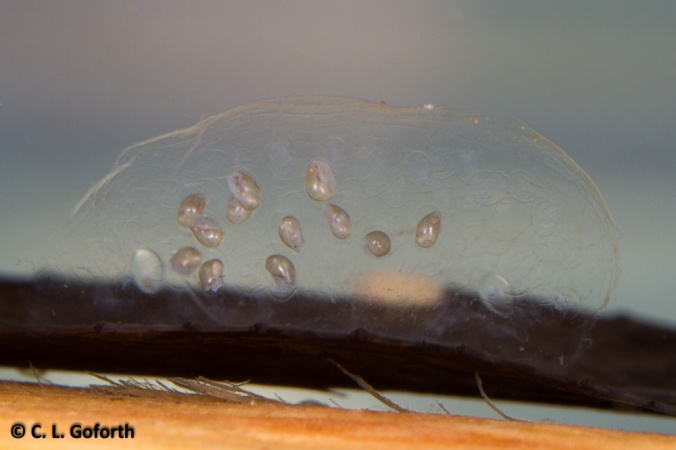 Snail eggs, Day 14