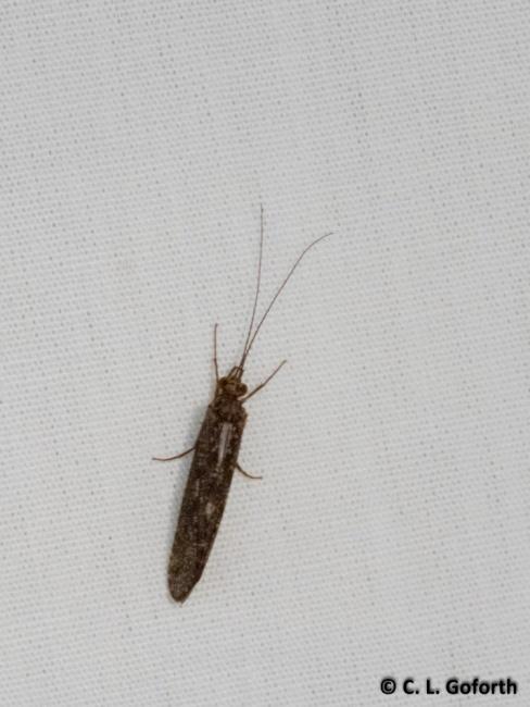 Net spinning caddisfly