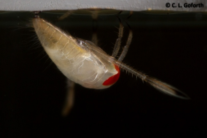 Notonecta first instar