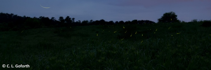 Fireflies over the prairie