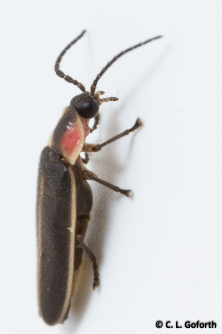Smaller Photinus