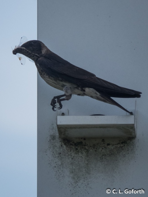 Purple Martin with Dragonfly