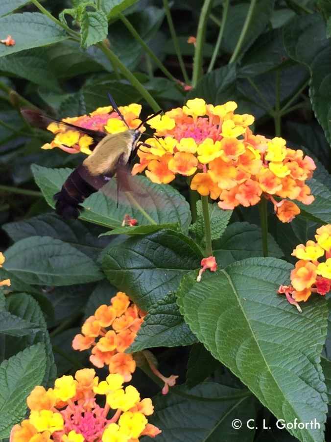 snowberry clearwing moth on Lantana
