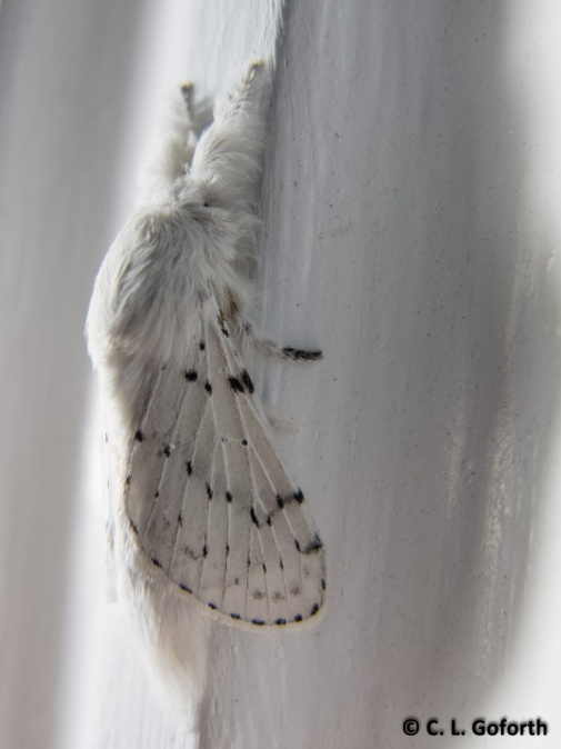 Dot-lined White Moth