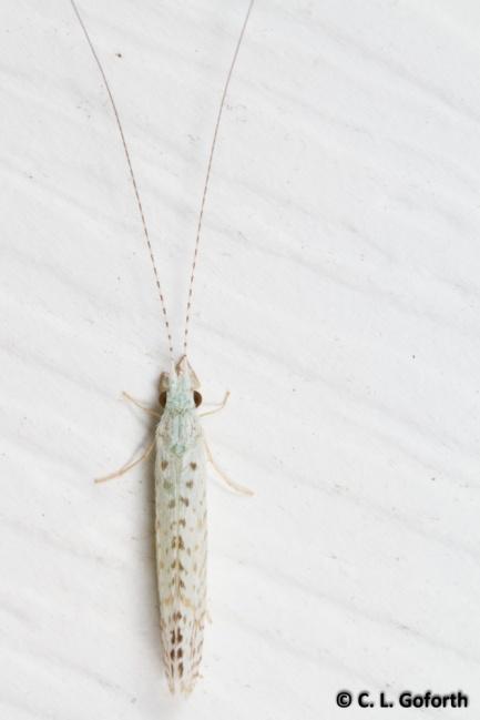 White miller caddisfly