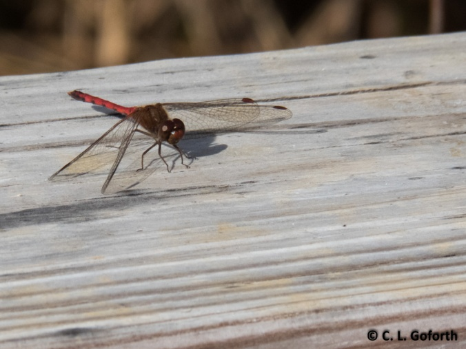 Autumn meadowhawk  (Sympetrum vicinum) male
