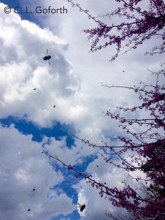 Bees swarming redbud