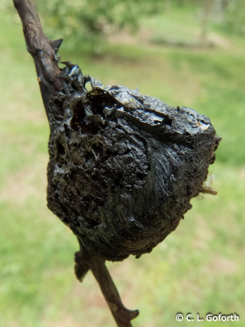 Charred Chinese mantid egg case