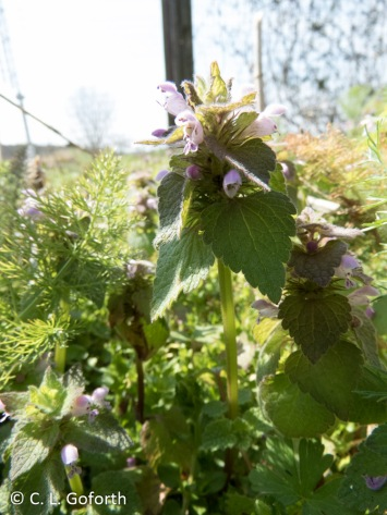Henbit deadnettle