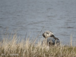 Seal on a barrier island