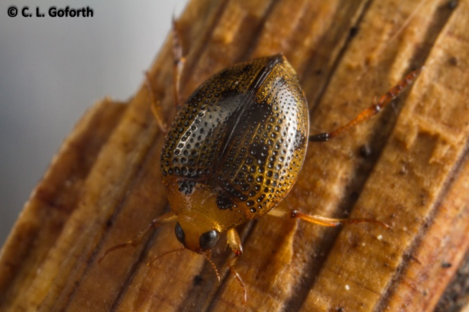 Crawling water beetle