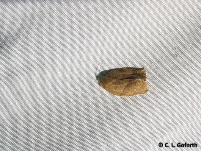 Archips leafroller
