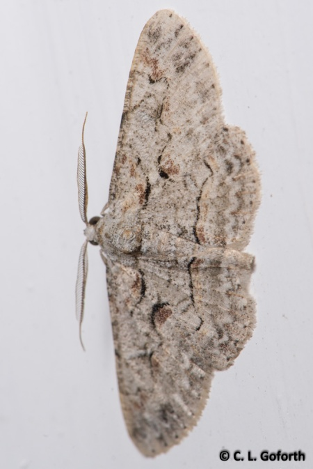 Brown shaded gray moth