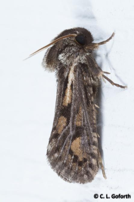 Clemens grass tubeworm moth
