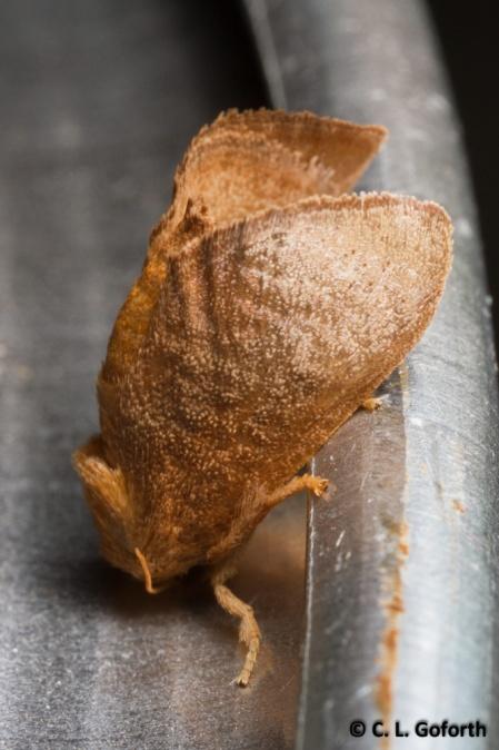 Crowned slug moth
