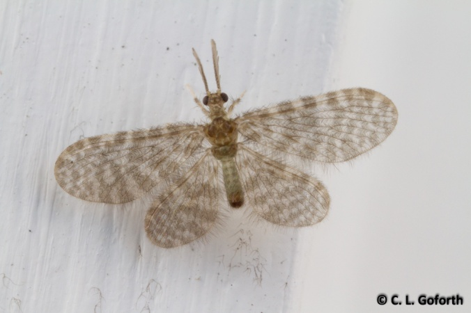 Pleasing lacewing