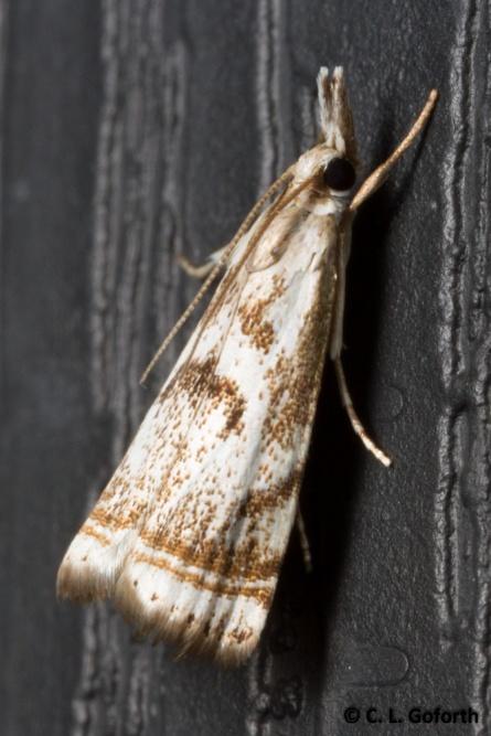Elegant grass veneer moth
