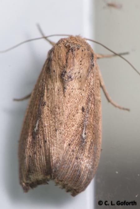 Leucania sp. moth
